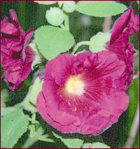 HOLLYHOCK Indian Spring Althaea rosea