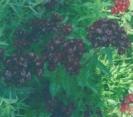 DIANTHUS - BLACK SWEET WILLIAM