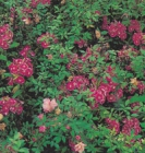 DIANTHUS - HOLBORN'S GLORY -- SOLD OUT --