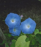 MORNING GLORY - Heavenly Blue  -- SOLD OUT --