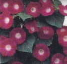 MORNING GLORY - Imperial Scarlet O\'Hara