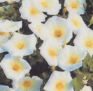 MORNING GLORY - White Ensign - ** SOLD OUT **