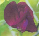 SWEET PEA - Black Knight  --- SOLD OUT  ---