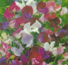 SWEET PEA - Old Spice Mix