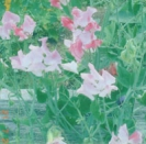 SWEET PEA - Painted Lady --- SOLD OUT --