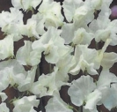 SWEET PEA - White Ensign