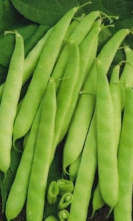 BEANS - BUSH BEANS - BURPEE STRINGLESS  ** SOLD OUT **