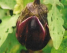 EGG PLANT - BLACK BEAUTY