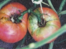 TOMATOES - BONNIE BEST