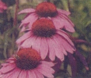 ECHINACEA/PURPLE CONEFLOWER