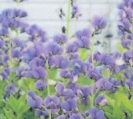 FALSE INDIGO -