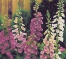 FOXGLOVE - OLD ENGLISH (Wild) FOXGLOVE - ** SOLD OUT **