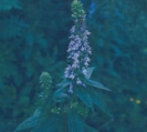 GREAT BLUE LOBELIA -- SOLD OUT --