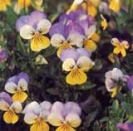 JOHNNY-JUMP-UP (Heartsease) -- SOLD OUT --