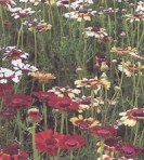 PYRETHRUM  -- SOLD OUT --