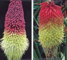 RED HOT POKER -- SOLD OUT  --
