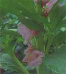 BALSAM (Lady's Slipper) Double Rose-Flowered