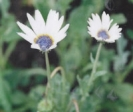 BLUE-EYED AFRICAN DAISY  -- SOLD OUT --
