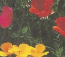 CALIFORNIA POPPY, BALLERINA