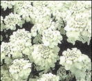 CANDYTUFT, GIANT HYACINTH-FLOWERED