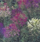 CLEOME - CHERRY QUEEN