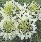 CLEOME - WHITE QUEEN