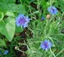 CORNFLOWER - BLUE BOY