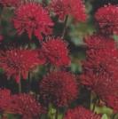CORNFLOWER  - RED BOY