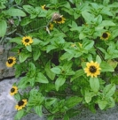 CREEPING ZINNIA -- SOLD OUT --