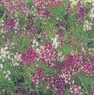FAIRIES' TOADFLAX   -- SOLD OUT --