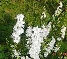 LARKSPURS - WHITE SPIRE