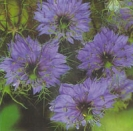 LOVE-IN-A-MIST - MISS JEKYLL INDIGO