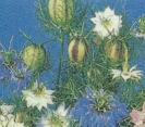 LOVE-IN-A-MIST - PERSIAN JEWELS