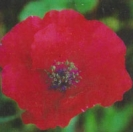 POPPY - THE GIANT -- SOLD OUT --