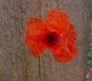 POPPY - RED LEGION (Field Poppy)