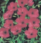 FLAX - SCARLET (RED)