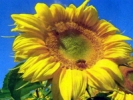 SUNFLOWER - DWARF INCREDIBLE