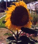 SUNFLOWER - MAMMOUTH