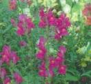TALL SNAPDRAGONS