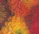 ZINNIA - DAHLIA FLOWERED MIX
