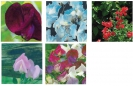 COLLECTION - SWEET PEA
