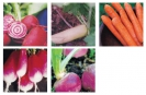 COLLECTION - ROOT VEGGIE
