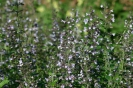 MINT - MOUNTAIN MINT -- SOLD OUT --