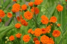TASSEL FLOWER - IRISH POET