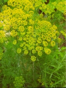 DILL -- SOLD OUT --