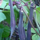 BEANS - BUSH BEANS - ROYAL BURUNDY