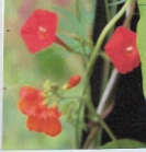 CHILEAN GLORY FLOWER