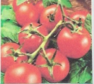 TOMATOES - MONEY MAKER