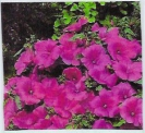 LAVATERA - LOVELINESS -- SOLD OUT --