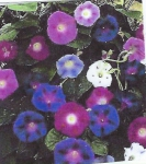 MORNING GLORY - Imperial Mix
